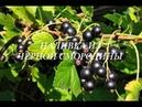 Наливка из черной смородины