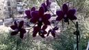 Орхидея Чёрная птичка 🕊Домашнее цветение