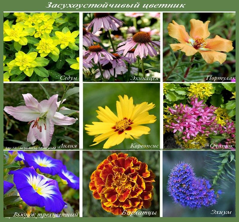 Цветы для засухоустойчивого цветника