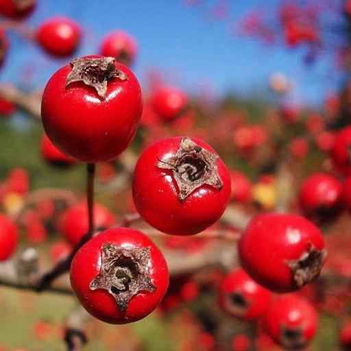 10 особенностей выращивания боярышника обыкновенного