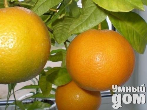 Апельсин - секреты ухода! Местоположение и освещение Апельсины – весьма требовательные к свету и теплу растения. Оптимальной для них будет температура воздуха и почвы от +15 до +18 градусов – при этой температуре лучше всего будет происходить бутонизация, завязывание плодов и цветение. Зимой апельсины лучше содержать в холодном, но светлом помещении с температурой воздуха до 12 градусов. Если не предоставить апельсину холодную зимовку, то он может потом не плодоносить. Полив Весной и летом…