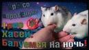 (О) Балуемся с крысами. Трио Драконов , или как спать по ночам? (Fancy Rats)