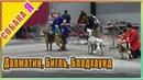 Далматин Бигль Бладхаунд выставка Двинские просторы Собака я