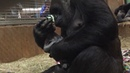 B-Roll: Western lowland gorilla, Calaya, giving birth