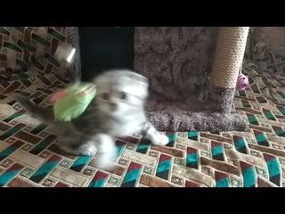 Казань.Продаем вислоухих мраморных шотландских котят