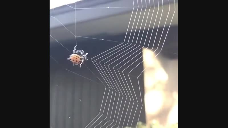 Паук-кругопряд плетет паутину