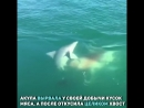 Акула-каннибал