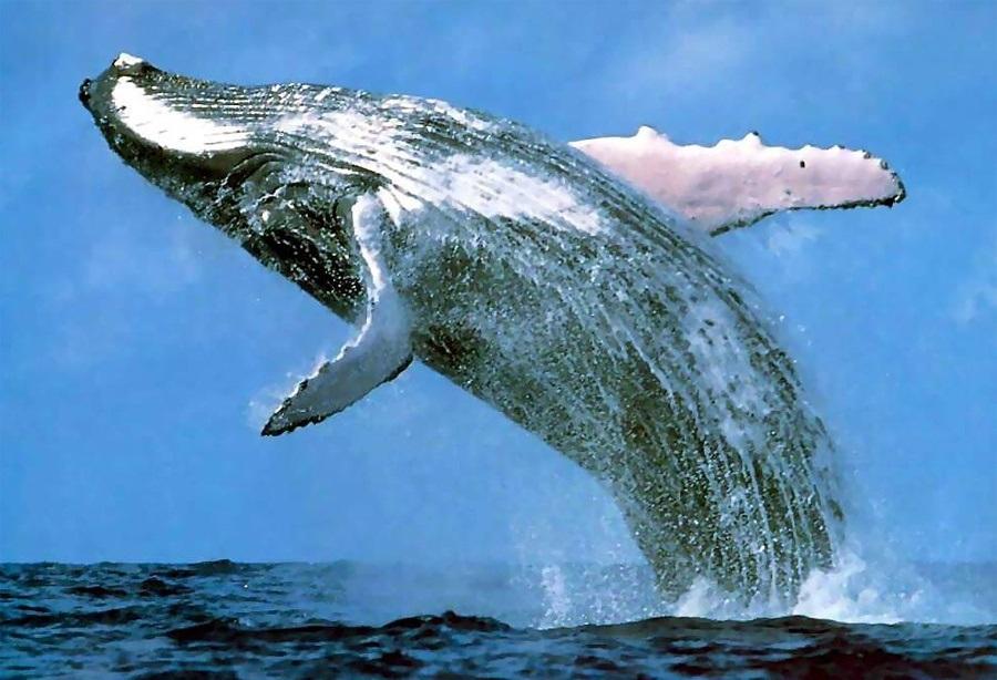 Галапагосский кит