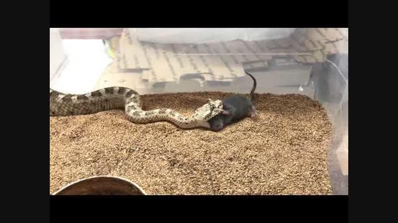 Самец гремучей змеи по кличке сайдуиндер убивает мышь