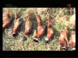 Особенности охоты на Руси.Охота на фазана.avi jcj,tyyjcnb j[jns yf hecb.j[jnf yf afpfyf.avi