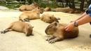 カピバラを連続ヘブン状態に Scratching many capybaras