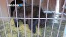 Омские медведи Миша и Балу убираются в вольере