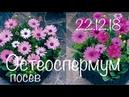 Остеоспермум 22 12 18 Выращивание остеоспермума из семян Посев остеоспермума на рассаду