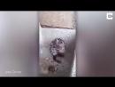 Шок Житель Перу снял на видео крысу которая намыливалась мылом как человек
