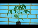 Опыт огородников по выращиванию рассады помидоров