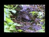 Бобры на Валдайском озере