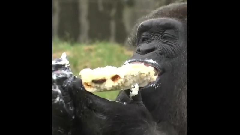 Самая старая горилла отмечает 61-й день рождения