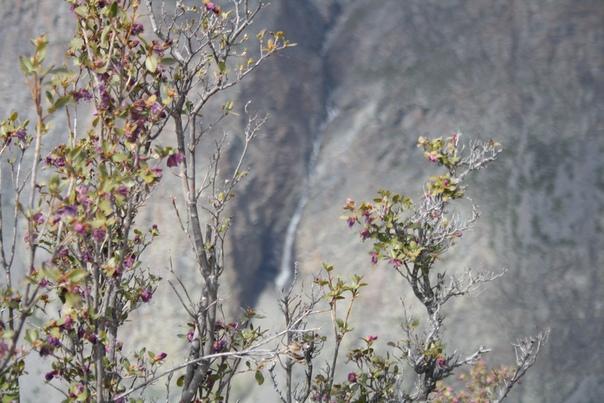 Моральник. Его тут полно и чуть раньше весной все горы были бы им усыпаны. Мне удалось сфотографировать только один хороший куст (не этот).