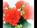 Пеларгония Рафаэлла. Посев и всходы: с 1 по 7 день.