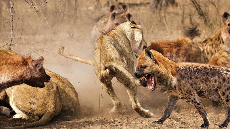 Необычная жизнь животных. Опасные игры.