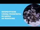 Петербургские слоны-полиглоты из Цирка на Фонтанке