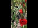 Гладиолус чёрный