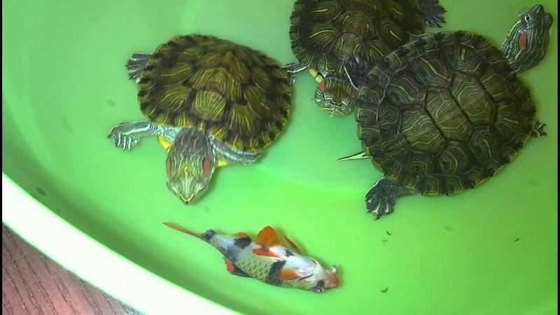 Кормление 3 черепашек (умершей рыбкой)- Суматранским барбусом