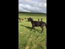 Карачаевский жеребец