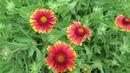 Гайлардия многолетняя. Цветы для солнечных мест в саду