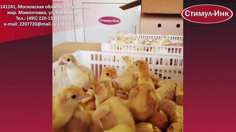инкубатор Стимул_Инк инкубация фермерский_инкубатор яйцо курица Инкубатор Стимул-4000М