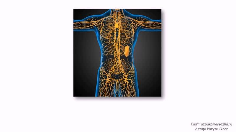 Влияние массажа на кровеносную и лимфатическую систему