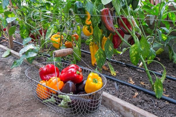 Перцы и баклажаны в одной теплице: как получить хороший урожай при совместном выращивании.