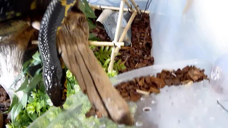 амурский полоз (Elaphe schrenckii)