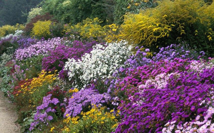 Осенний сад на даче-Золотарник (золотая розга, солидаго) желтый на заднем плане, фиолетовые, розовые и розовато-лиловые хризантемы и рудбекия
