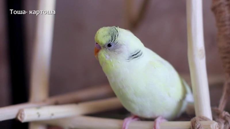 Тоша-картоша, весёлое пение для попугайчиков