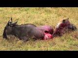 Гиена ест антилопу гну живьем. Часть 2