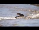 Нильский крокодил пытается атаковать львиц