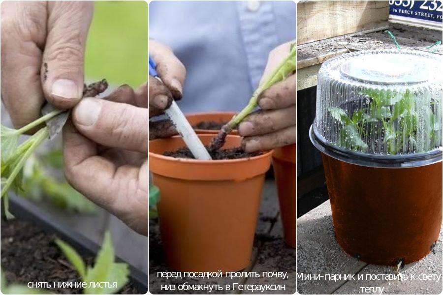 Быстрое размножение сортовых георгинов