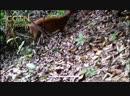 Мышиный олень - дикое животное, находящееся под угрозой вымирания