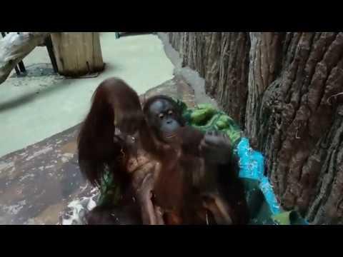 В зоопарке самка орангутана кутается с детёнышем в одеяла