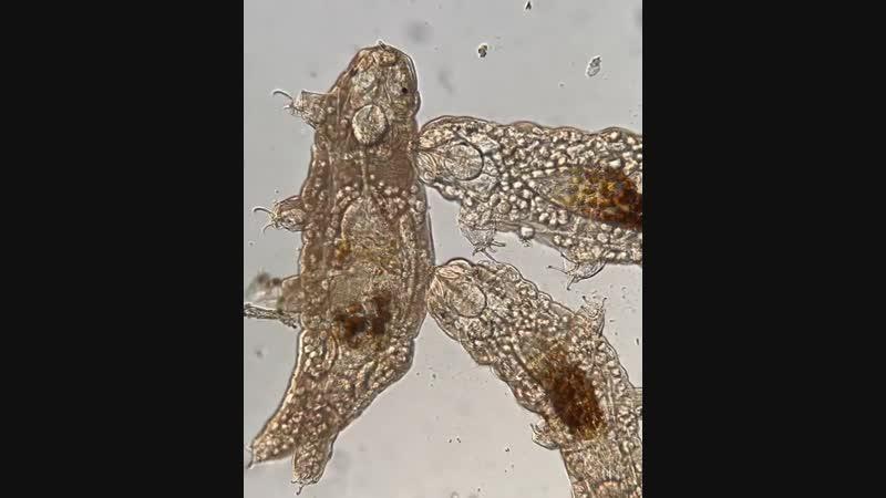 Микробные эукариоты поедают умирающую тихоходку