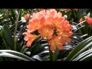 선물식물들에 비낀 위인칭송의 세계 -중앙식물원 국제친선식물관을 찾아서- 큰꽃군자란, 은빛전나무