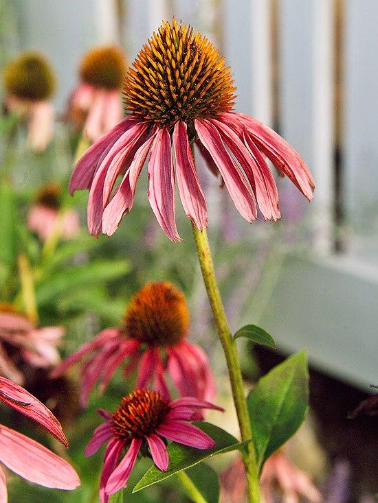Многолетники для цветников - Эхинацея