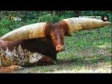 Бык с гигантскими рогами. Мифический бык! / Самые странные в мире животные - Nat Geo Wild
