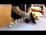Детеныш панды на медосмотр (Видео)