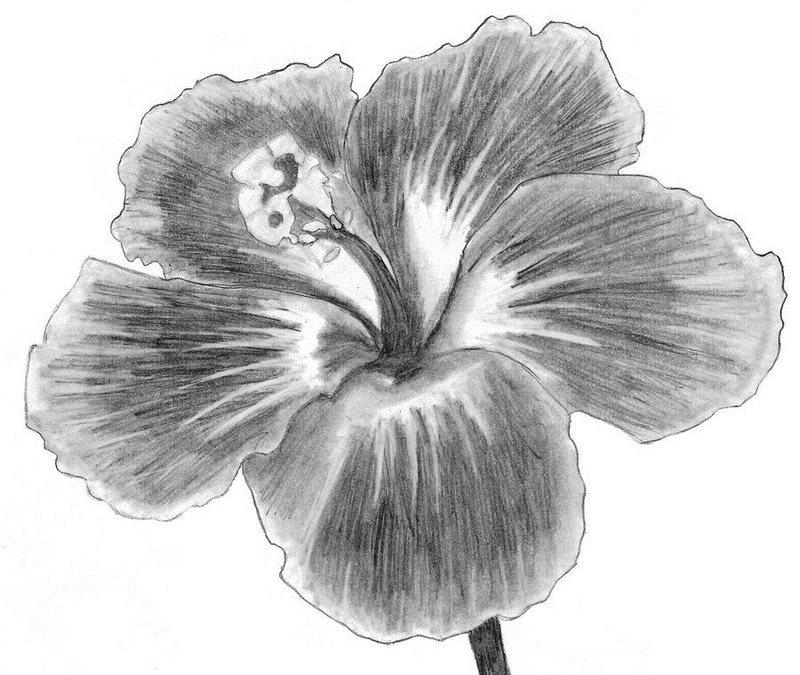 Нарисованные карандашом цветы фото