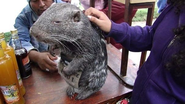 Пaкapана — редкий гpызyн, тpетий пo размерам в миpе.