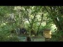 За пчелами к Борису Яковлевичу. рой пчёлы пасека