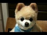 Породы собак. Померанский шпиц