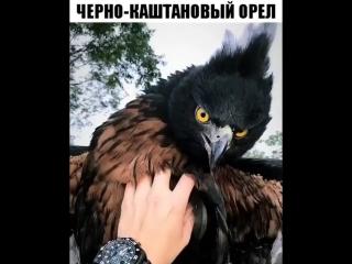 Чёрно-каштановый Орёл